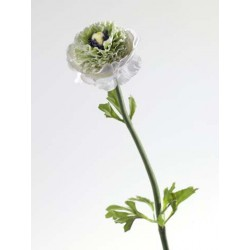 Ranunculus h 66cm